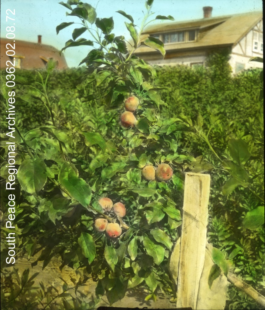 1928 Apple tree W.D. Albright, Beaverlodge, Alberta